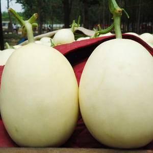陕西大荔县万亩甜瓜上市。甜瓜品种有早雪、 红颜良、陕甜、...