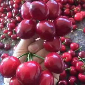 山东樱桃供应,大红灯樱桃今日价格【183-9676-83...