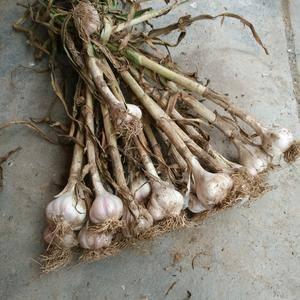 苍山大蒜拥有独特品质,希望客商前来收购