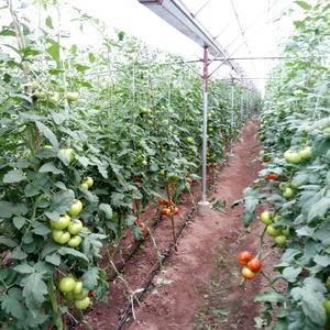 四川地区硬粉西红柿大量上市欢迎上门参观,选购,量大价格从...