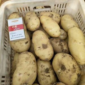 山东临沂大棚土豆大量上市,个大颜色好,黄皮黄心,联系电话...