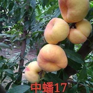 各种新品种桃苗,5.28号开始嫁接,各种早中晚熟黄金毛蟠...