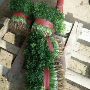 山东聊城铁杆青中叶香菜每年十月份开始上市!主要供应东北三...