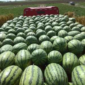 新疆西瓜已大量上市,代办程铁良16699253026