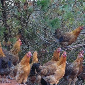 长期供应各品种土鸡,可长期合作的联系我,非诚勿扰!