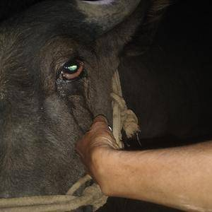请问有养牛专家吗?牛的眼睛这样是怎么回事?急 在此谢谢了!