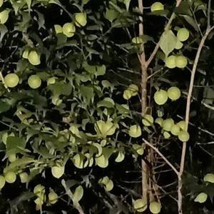 批发梅子,货源充足,无农药化肥农药的绿色食品。