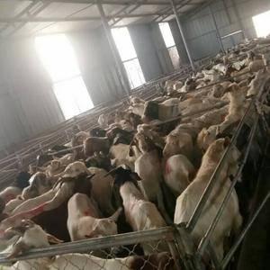出售各种肉羊