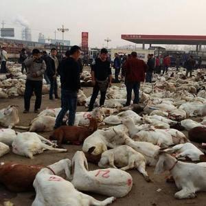出售各种肉羊,哪里有屠宰点,想去屠宰,有知道的可以合作,...