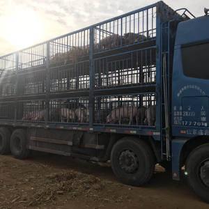 山东仔猪养殖基地大量供应优质仔猪,防疫严格完善。包送货,...