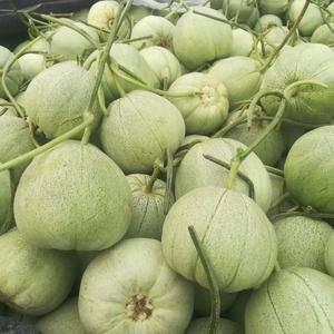 诚信合作 代收各种香瓜甜瓜 量大质优 品种齐全有东方蜜 ...