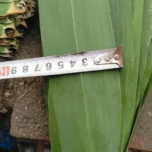 白洋淀芦苇叶大量上市宽度5-7公分长度50-70公分