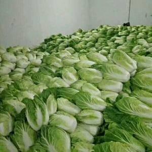 湖北宜昌长阳县高山绿色无污染白菜已大量上市供应,货源充足...