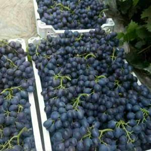 山东坊子暖棚有机玫瑰香葡萄,现在少量上市,十天后陆续大量...