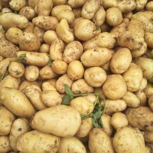 13853972805大量供应优质荷兰十五土豆