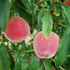 陕西大荔毛桃油桃大量上市,个头大,颜色红,口感佳,需要的...