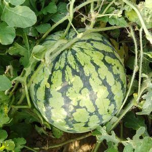 8424有籽西瓜。果形好,糖份高!6-10斤左右!