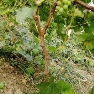 出售葡萄树 大棚内栽培  已经三年了  开始结果了