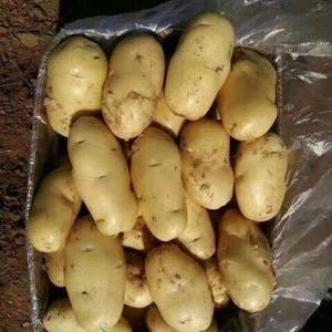 15092861333今日土豆大量上市,货源足,三两以上...