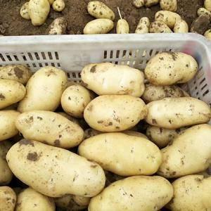山东荷兰十五土豆大量上市【15954027707】黄心黄...