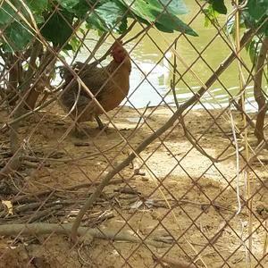 农家散养土鸡,母鸡自己孵化繁殖的鸡,喂纯粮食,健康营养