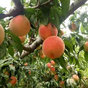 大量批发桃子 品种:突围桃、早生桃、川中岛桃、大红袍桃、...