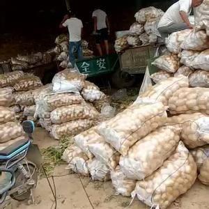 大量供应二两以上荷兰土豆价格优惠欢迎新老客户来收购,