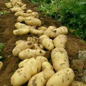 大量供应二两以上荷兰土豆价格优惠欢迎新老客户来收购