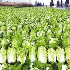 长阳高山大白菜已经大量上市,欢迎您致电资询和收购。131...