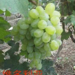 河北葡萄大量上市啦!我处葡萄种植面积达20万亩,主要品种...
