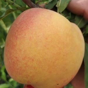 金冠8-18桃苗,六月底成熟,黄肉,200~300克硬度...