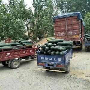现有大量黑皮东瓜上市有需要的老板,请来电
