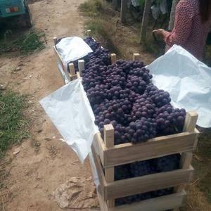 夏黑葡萄大量上市了!有需要的联系我18730097528