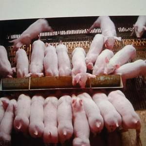 13615498815常年供应三元仔猪苗猪,长白仔猪,梅...