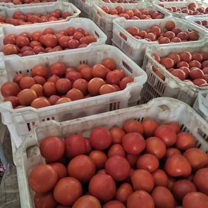 西红柿大量上市,量大质优,上货快,欢迎各位老板前来采购,...