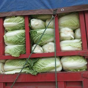 围场大量供应优质大白菜,甘蓝,娃娃菜,花菜,西葫芦,胡萝...