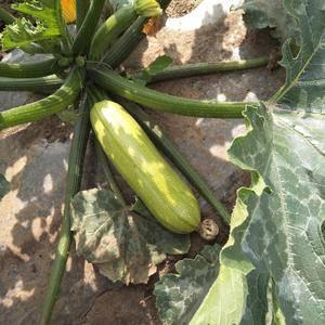 本人长期供应优质大白菜,娃娃菜,甘蓝,西葫芦等蔬菜。土豆...