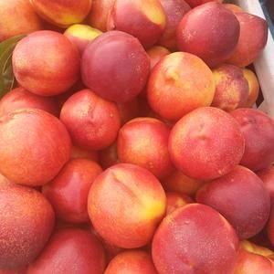 油桃15266659975 陆地油桃大量上市 欢迎来...