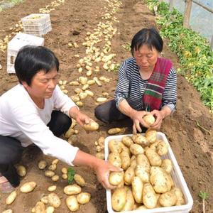 大棚土豆批发,产地直销【15810860771】千亩土豆...