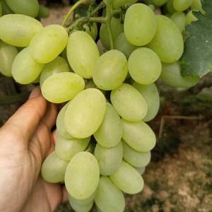 维多利亚葡萄大量上市,价格公道品质好,联系电话/微信15...