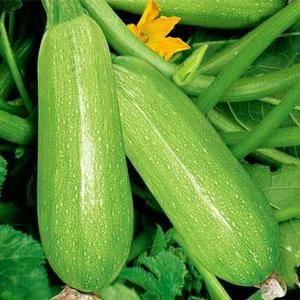 河北省承德市围场县大量供应绿皮西葫芦,瓜型好,颜色亮。欢...