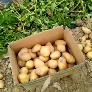 自家种植优质土豆,黄心土豆,价格低希望取得联系。河南省商...