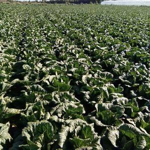 河北坝上大青沟种植蔬菜基地种植面积大每年六月份大小娃娃菜...