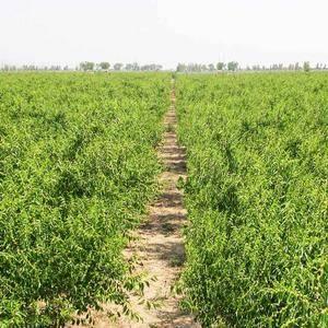 现有1500余亩冬枣苗圃地,主要有沾化冬枣一代,沾化冬枣...