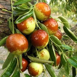 现有1500余亩冬枣苗圃地,主要品种有沾化冬枣一代,沾化...