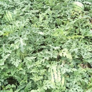 西安市长安区大兆,有几亩西瓜,有没有需要的,批发零售,联...
