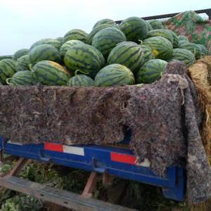 西瓜大批量上市了。货源充足。上万亩西瓜等你来采购。辽宁锦...