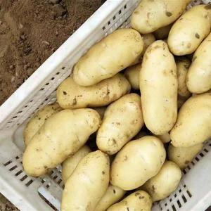 辽宁锦州凌海大批量上市,荷兰十五土豆。。。货源充足。