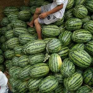 山东东明西瓜种植基地位于黄河地带,产出的西瓜口感好,质量...