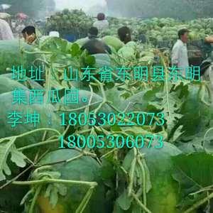 山东东明西瓜种植基地位于黄河地带,沙质的土壤非常适合西瓜...